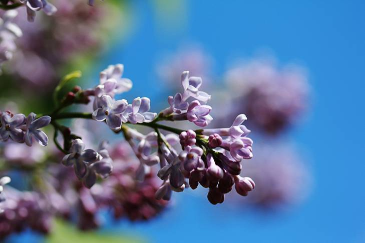 The Sweet Aroma of Lilacs
