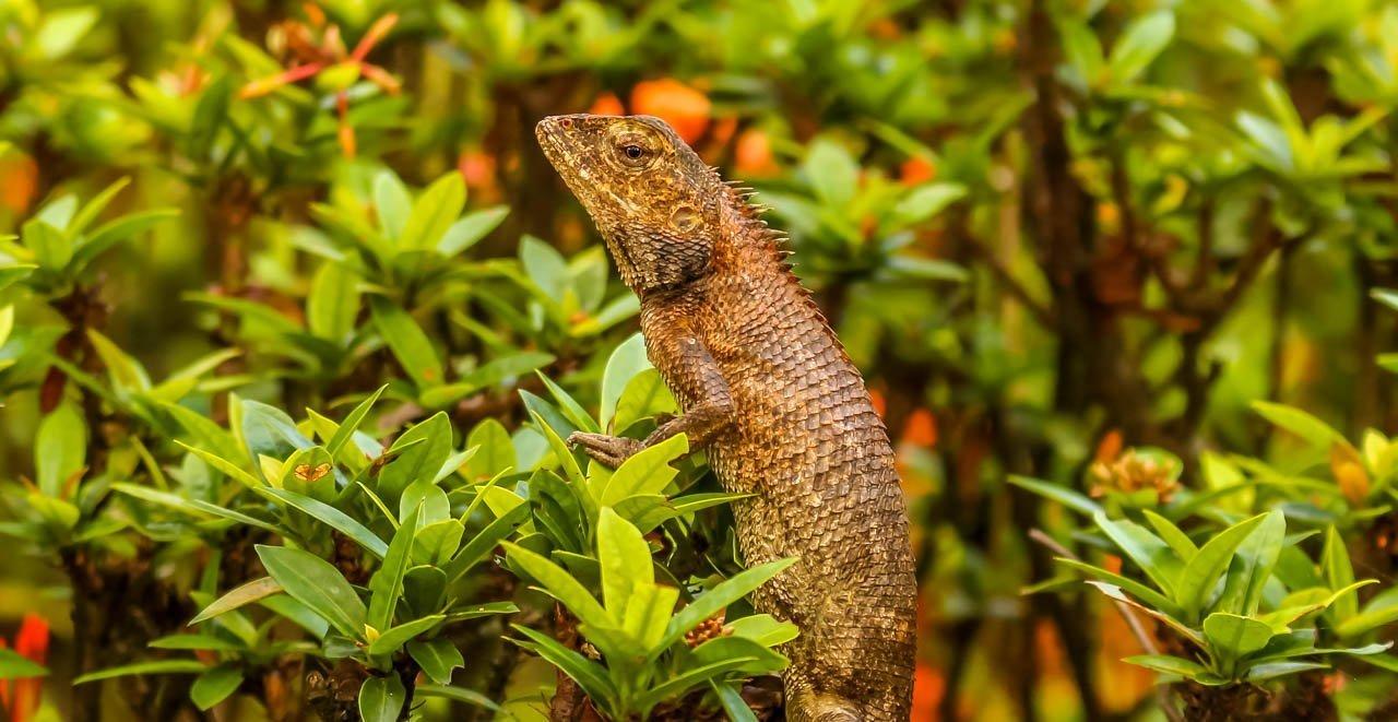 singapore lizard