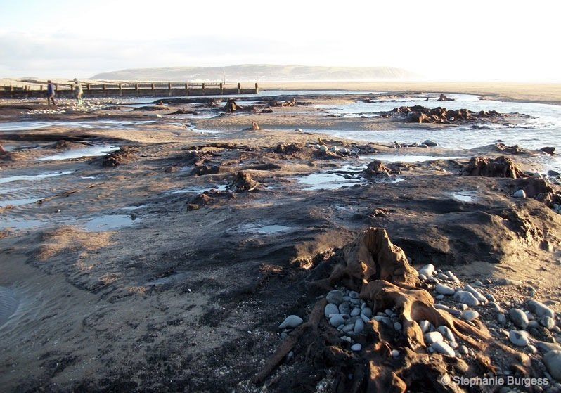 fossilised trees on beach