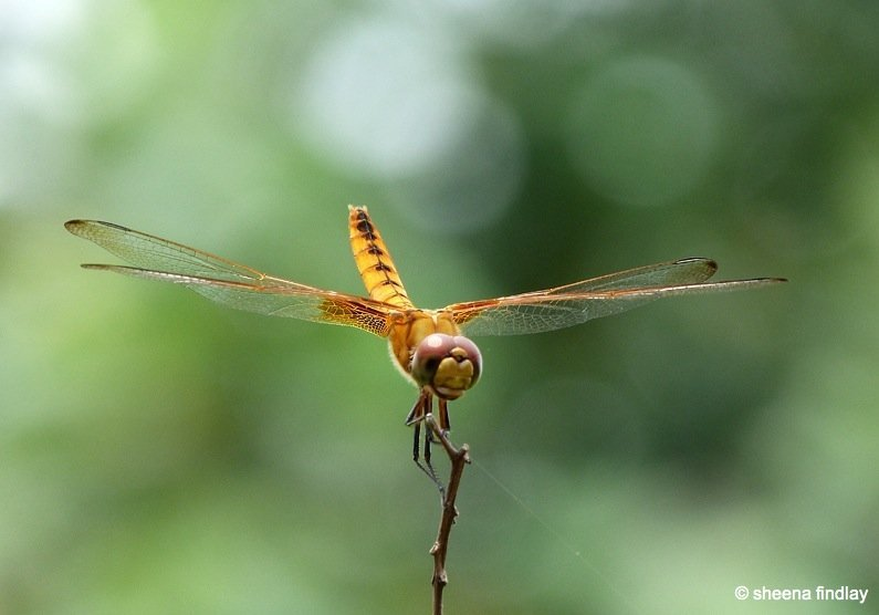 16.-Asian-Ambering-dragonfly The Wetland Park, Hong Kong