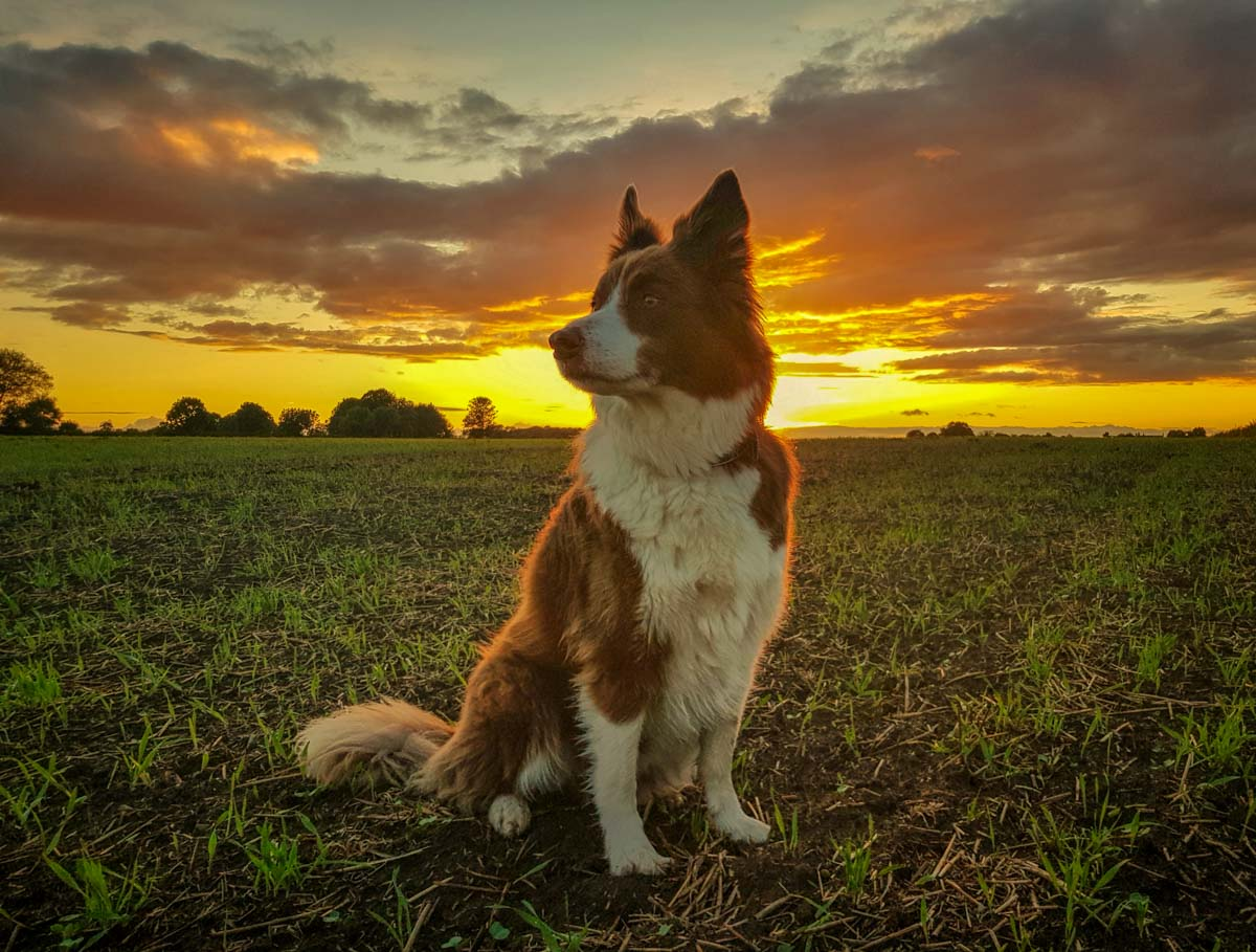 20170914_191225-01 Adventures With Rusty, The Border Collie