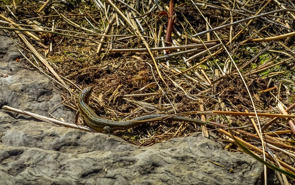 Common-Lizard Alport Castles Walk – Derbyshire Peak District