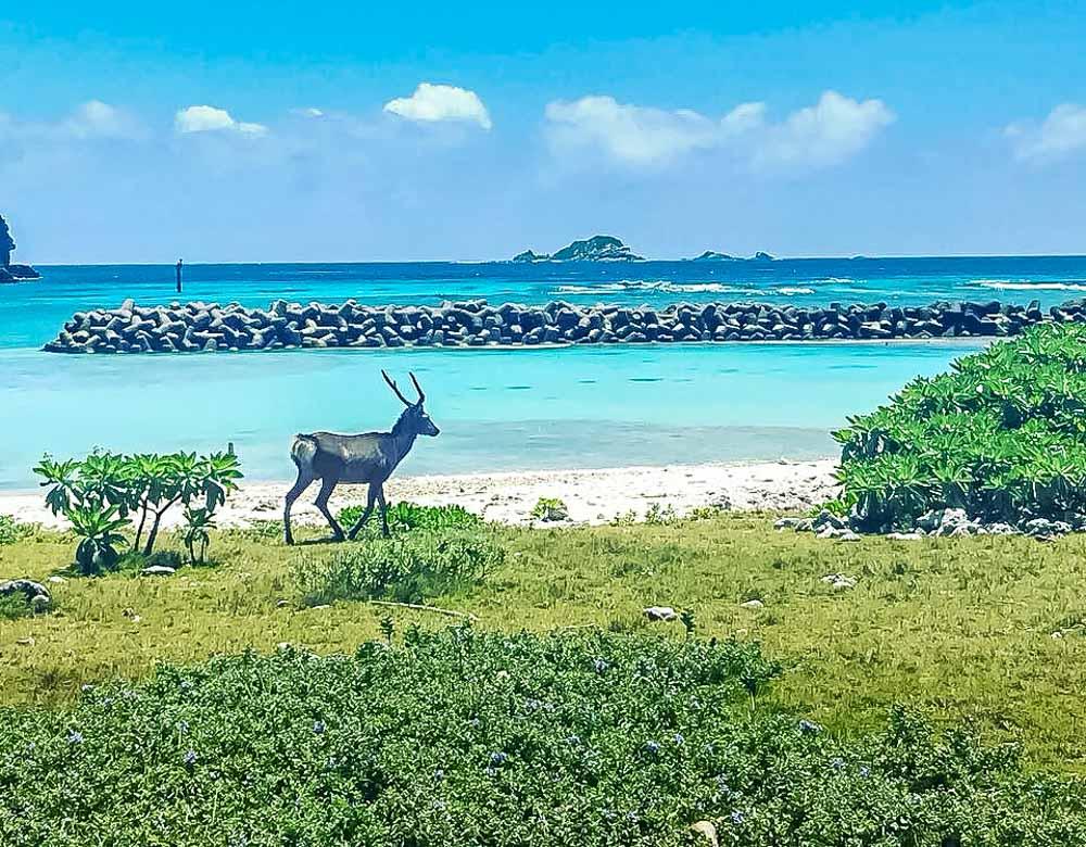 Aka-kerama-deer Akajima Island - Relax In Paradise