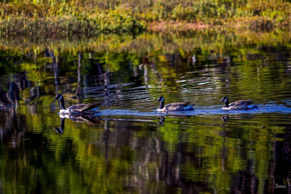 canada-goose-001 Salmonier Nature Park of Newfoundland