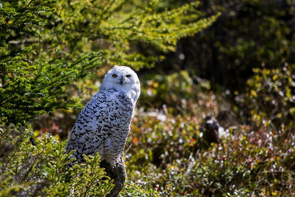 snowy-owl-001 Salmonier Nature Park of Newfoundland