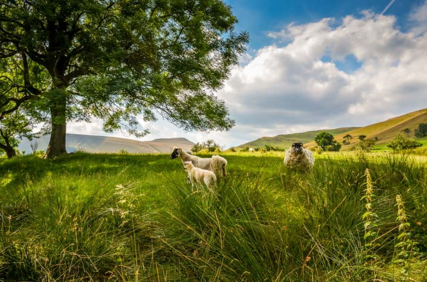 Sheep in a Farmers field, Edale