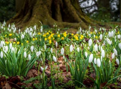 Snowdrops - A Sign of Spring On The Way