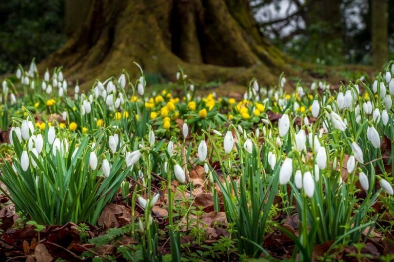 Snowdrops – A Sign of Spring On The Way