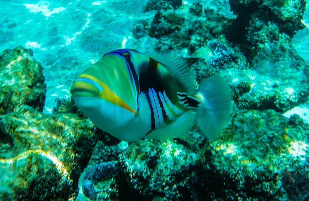 Picasso-Fish Rarotonga, Cook Islands - Pacific Paradise