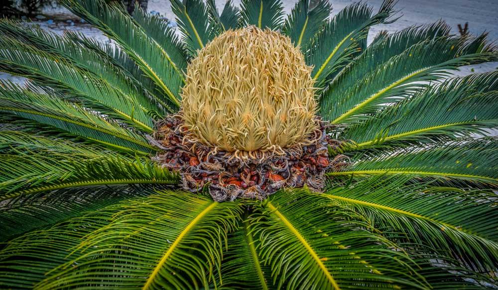 Raro-Cycad Rarotonga, Cook Islands - Pacific Paradise