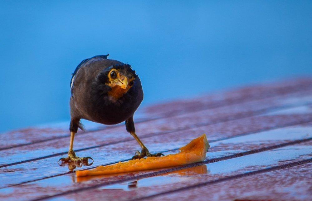 Raro-Mynah-Bird Rarotonga, Cook Islands - Pacific Paradise