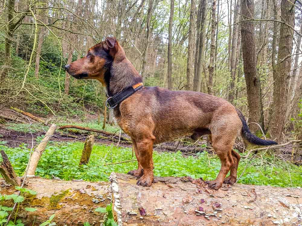 Bandit-on-alert-in-the-woods_ Historic Ticknall Village, A Country Ramble –  South Derbyshire