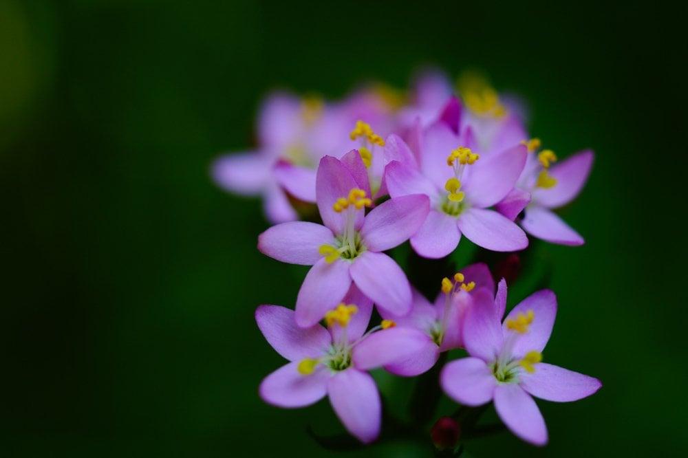 Centaury The Wonder of Wild Flowers
