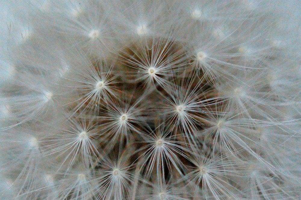 Dandelion-head The Wonder of Wild Flowers