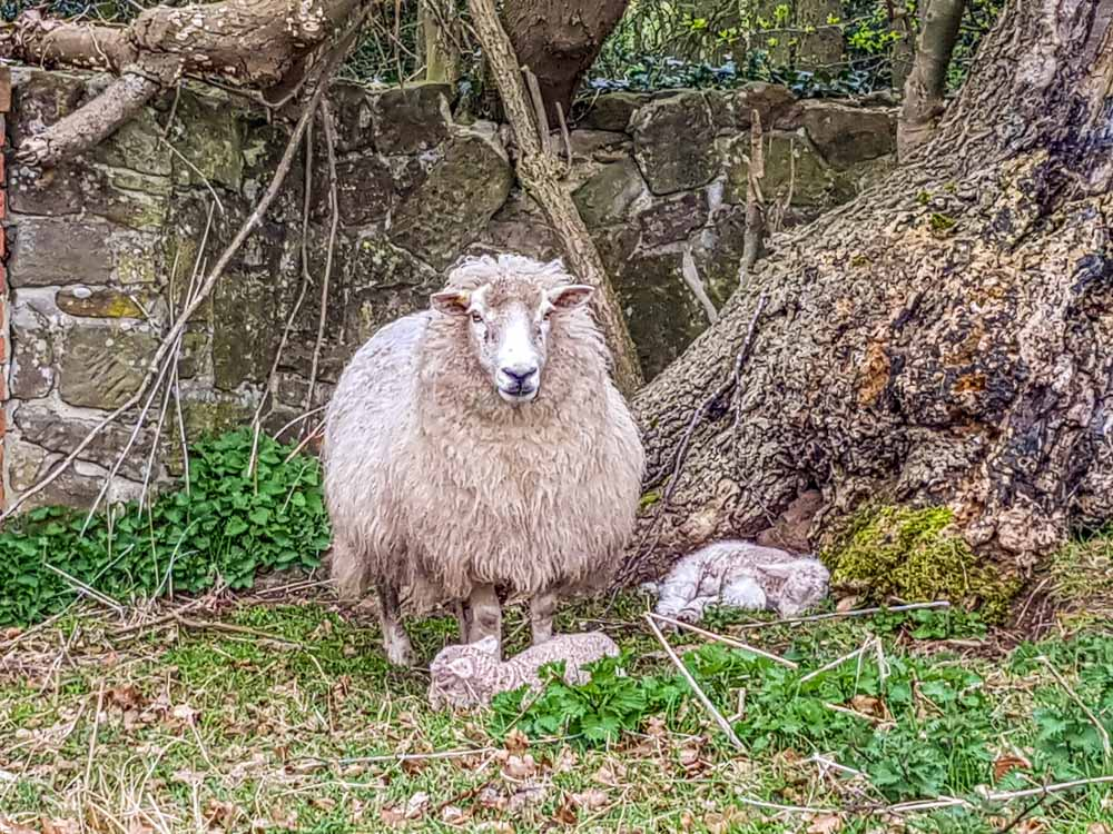 Ewe-with-twin-lambs Historic Ticknall Village, A Country Ramble –  South Derbyshire
