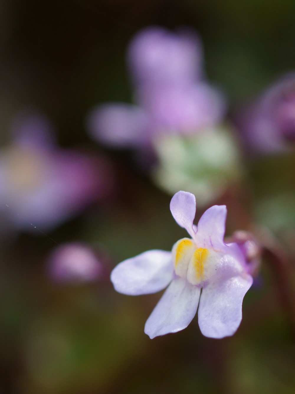 Ivy-leaved-toadflax The Wonder of Wild Flowers