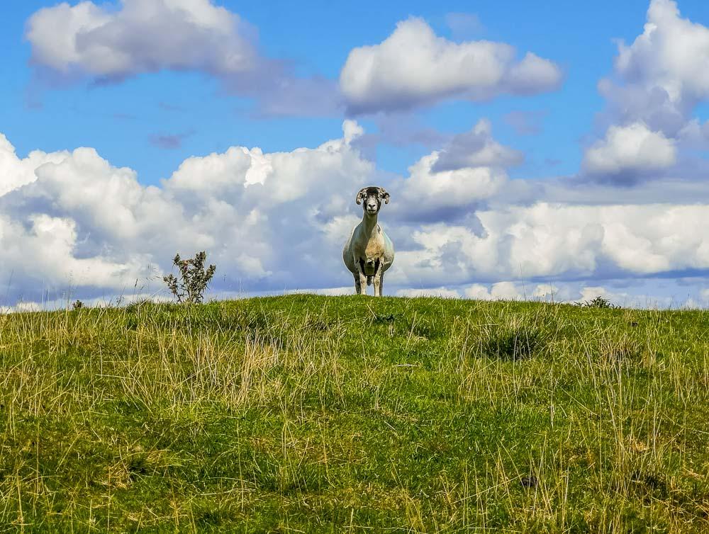 sheep on Kirkcarrion