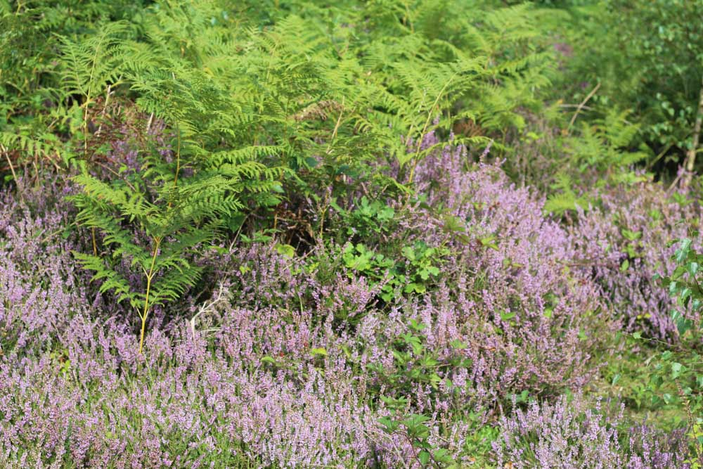 IMG_7054 A Walk Around Snelsmore Common, Berkshire