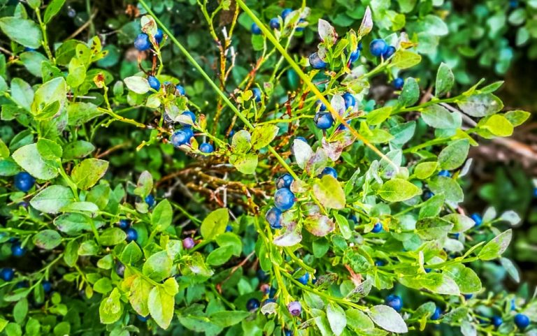 Whinberry Picking – 'A Cautionary Tale'