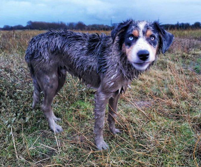 muddy collie