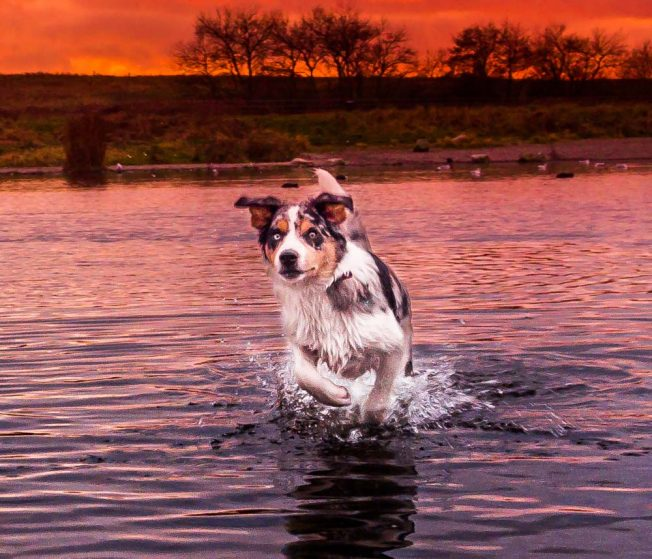 border collie running in water