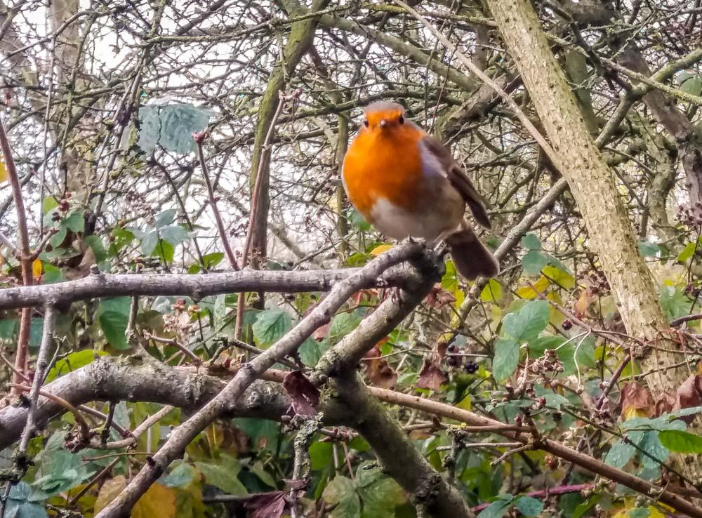 Robin-at-Attenborough-Nature-Reserve Attenborough Nature Reserve, A Nottinghamshire Treasure