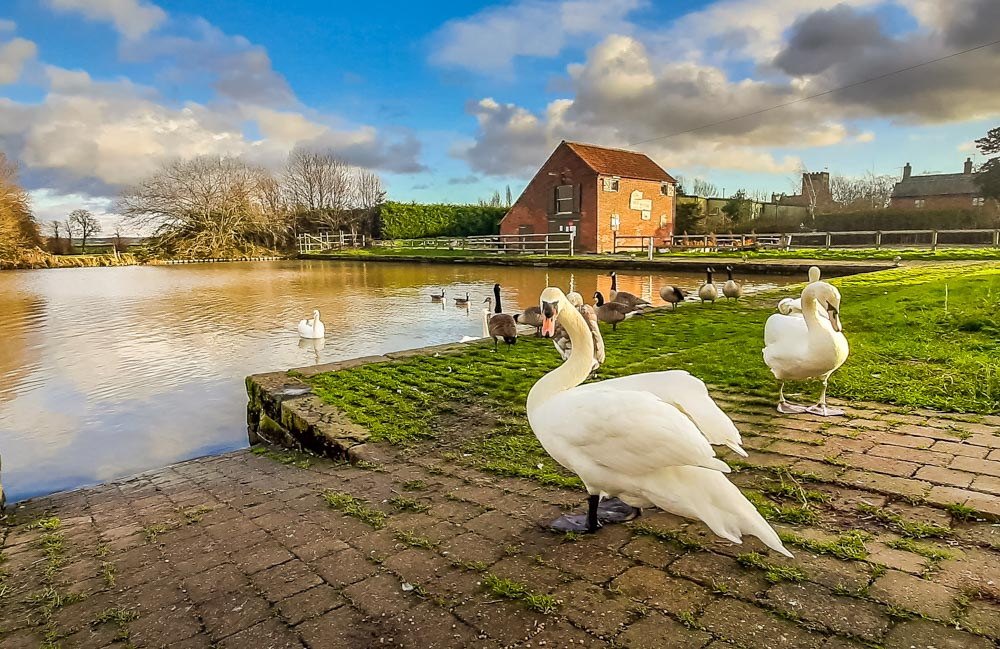 Hickling basin swans
