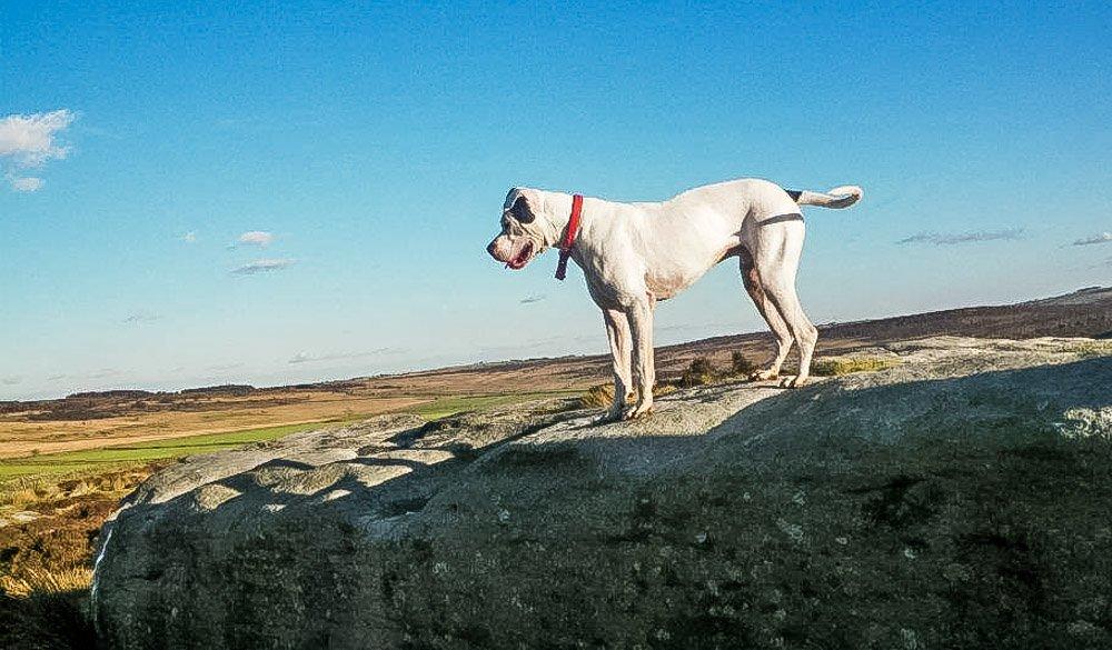 american bulldog hiking