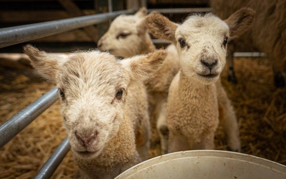 Lambing Season at Doe Park, Teesdale