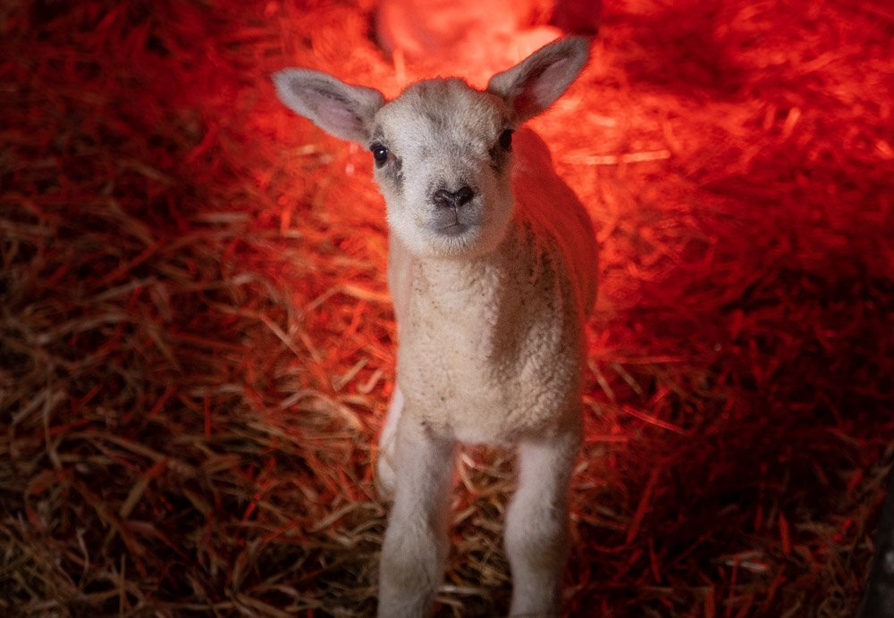 A Look At Lambing Season at Doe Park, Teesdale