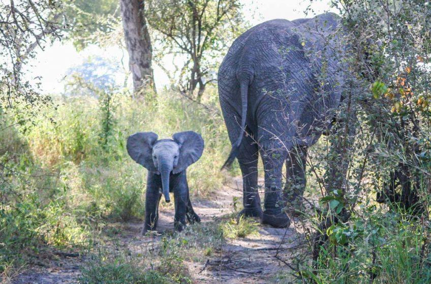 on safari baby elephant