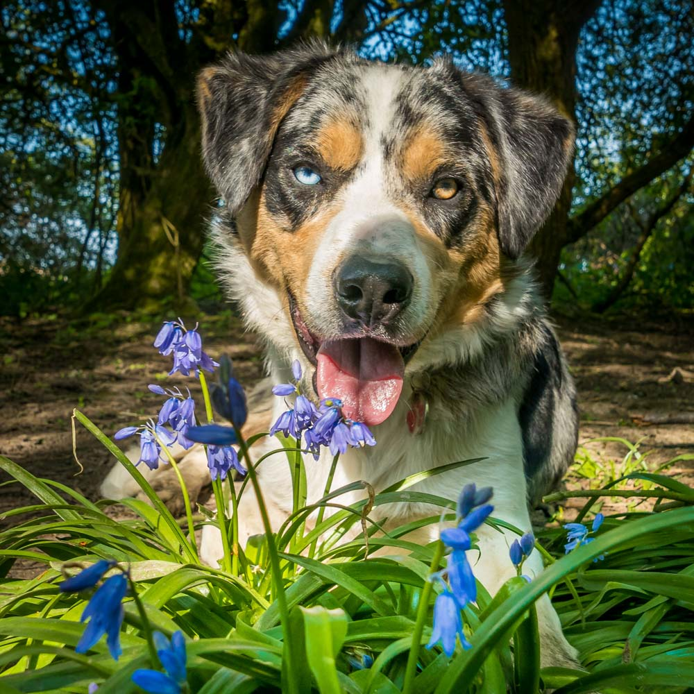 dog-and-bluebells 5 Tips For Taking Better Pet Photos