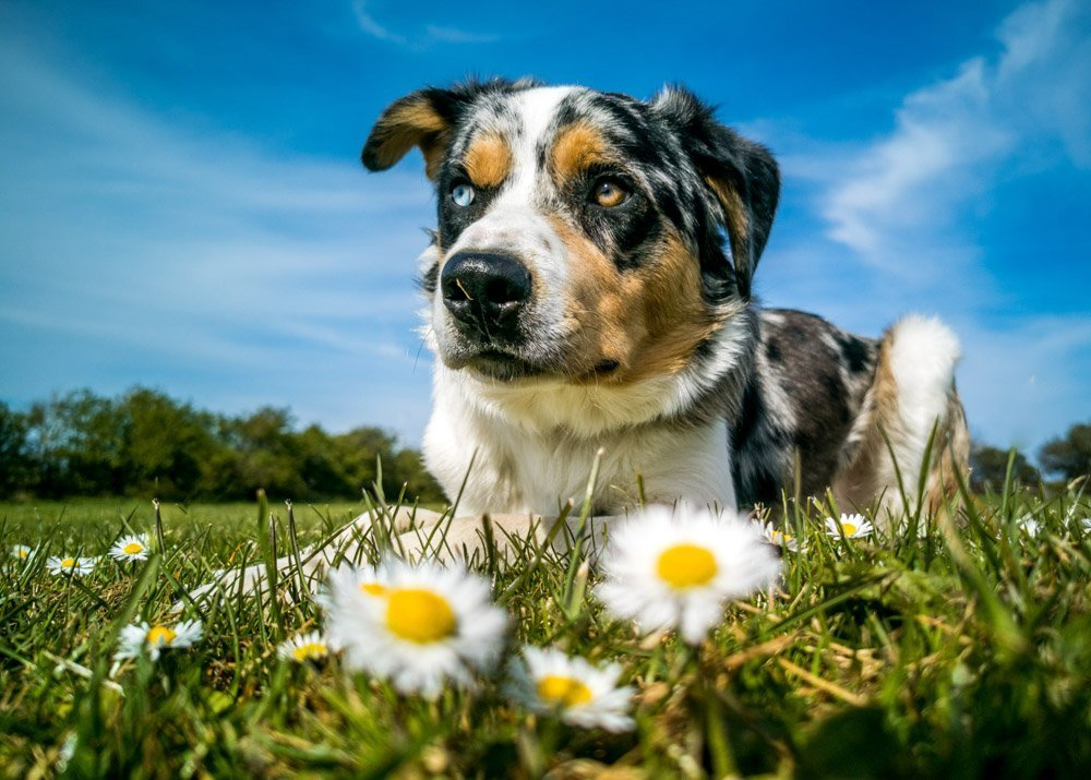 dog-and-daisies 5 Tips For Taking Better Pet Photos