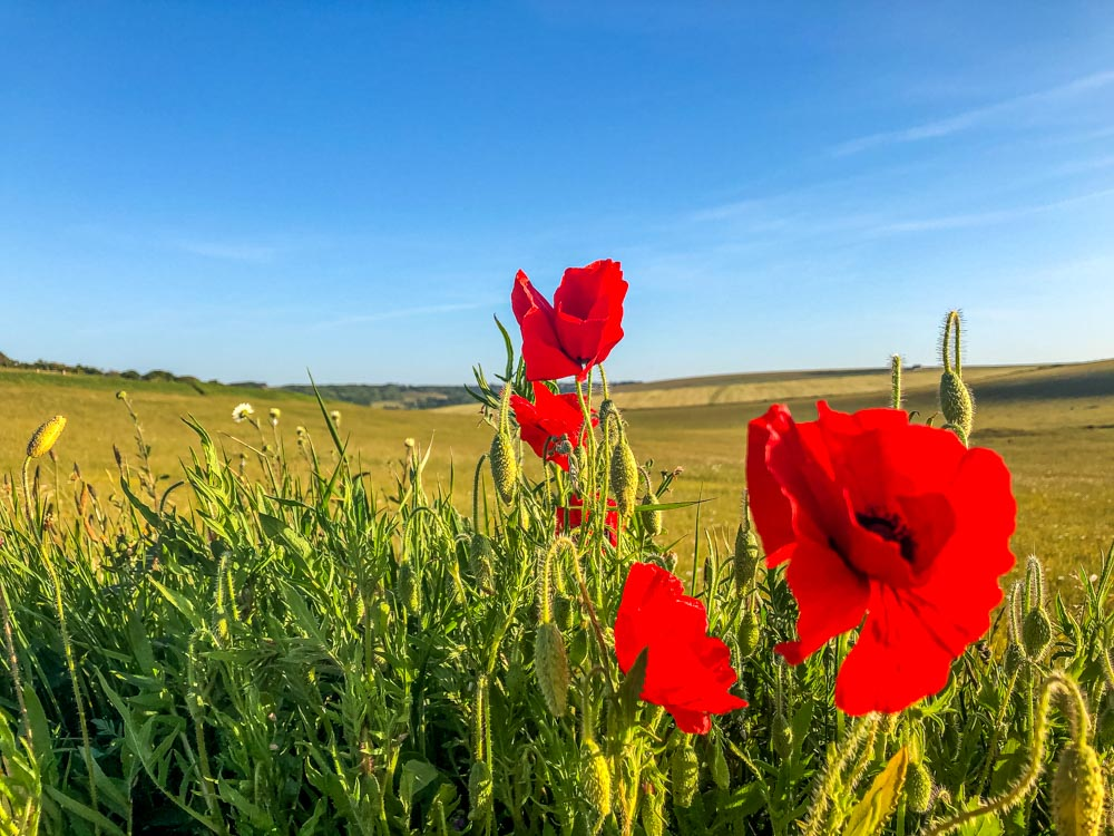 poppies Birling Gap and The Seven Sisters – A Beautiful Coastal Walk