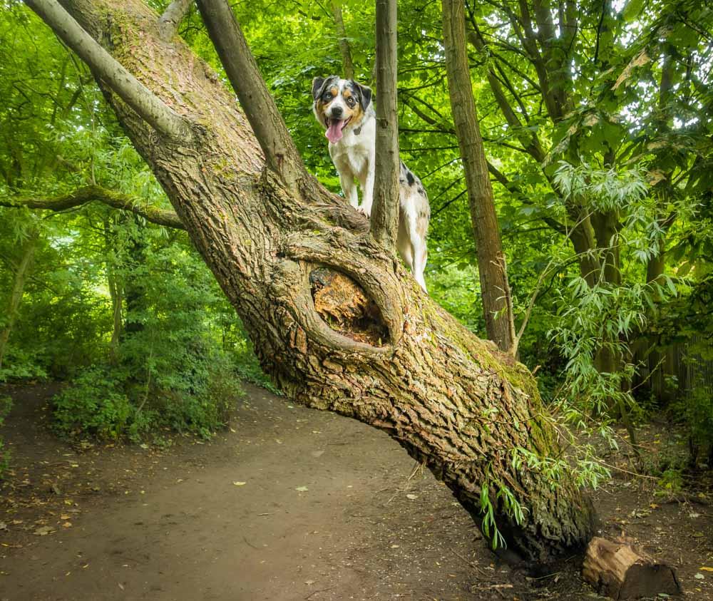 L1005384 A Dog Walk Through Witch Wood, Lytham