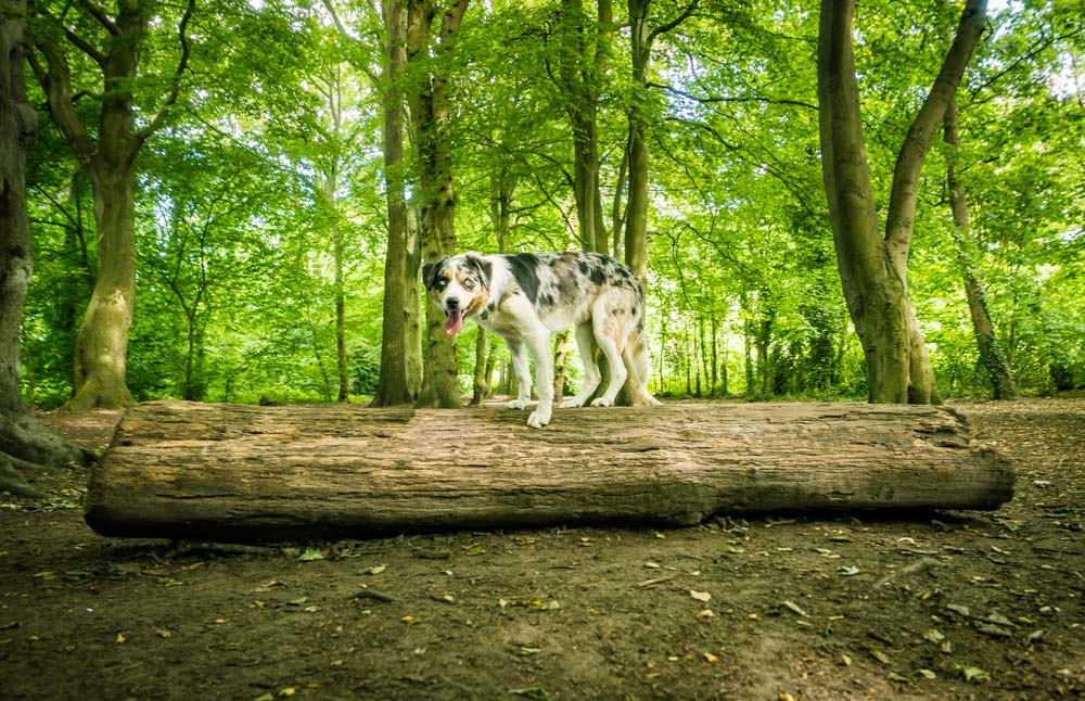 L1005721 A Dog Walk Through Witch Wood, Lytham