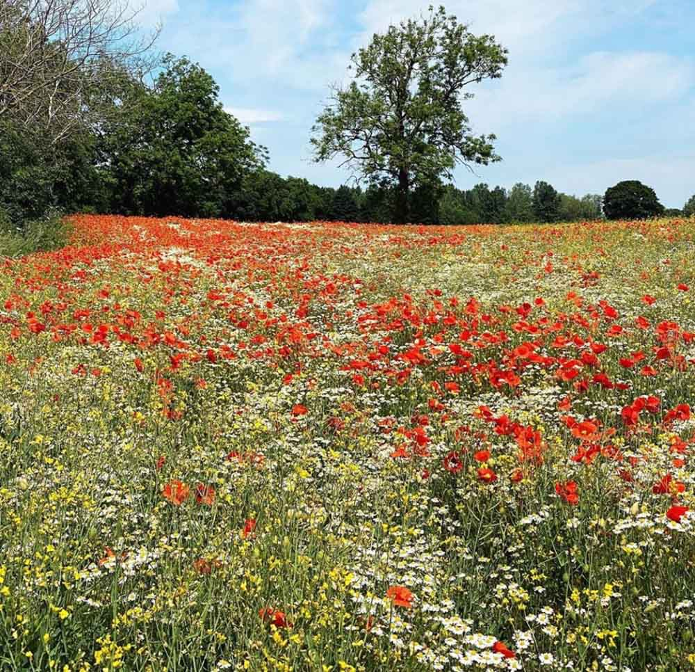 poppies-field Ecotherapy – Where Nature Helps Our Mental Health