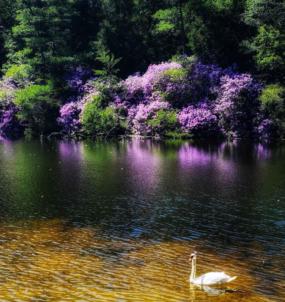 swan Virginia Water Lake - A Springtime Walk