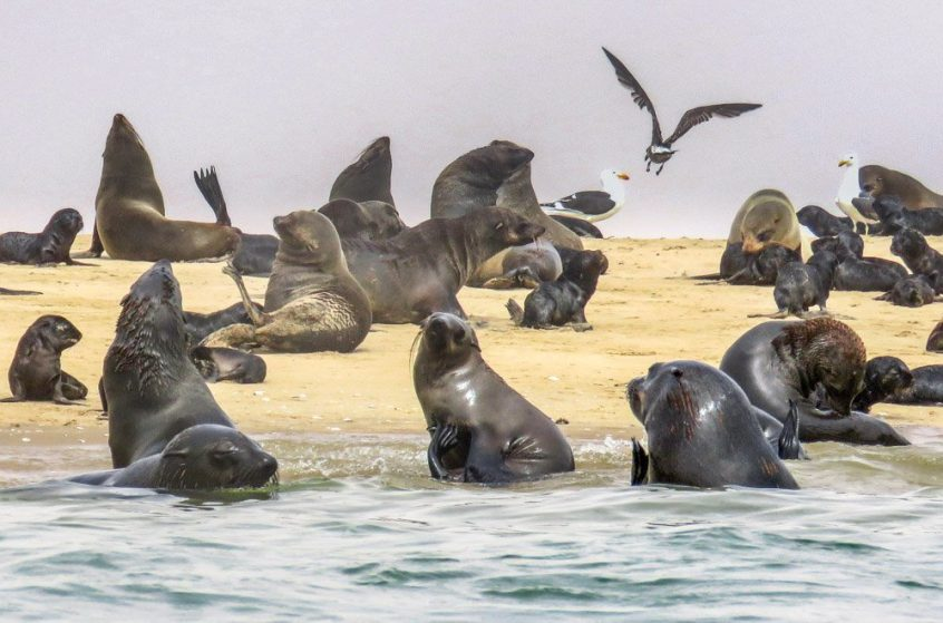 Kayaking With Cape Fur Seals Off The Namibian Coast