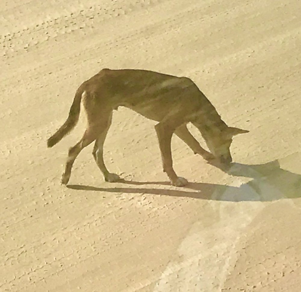 Dingoes are thought to have been introduced to Fraser around 3,000 - 8,000 years ago