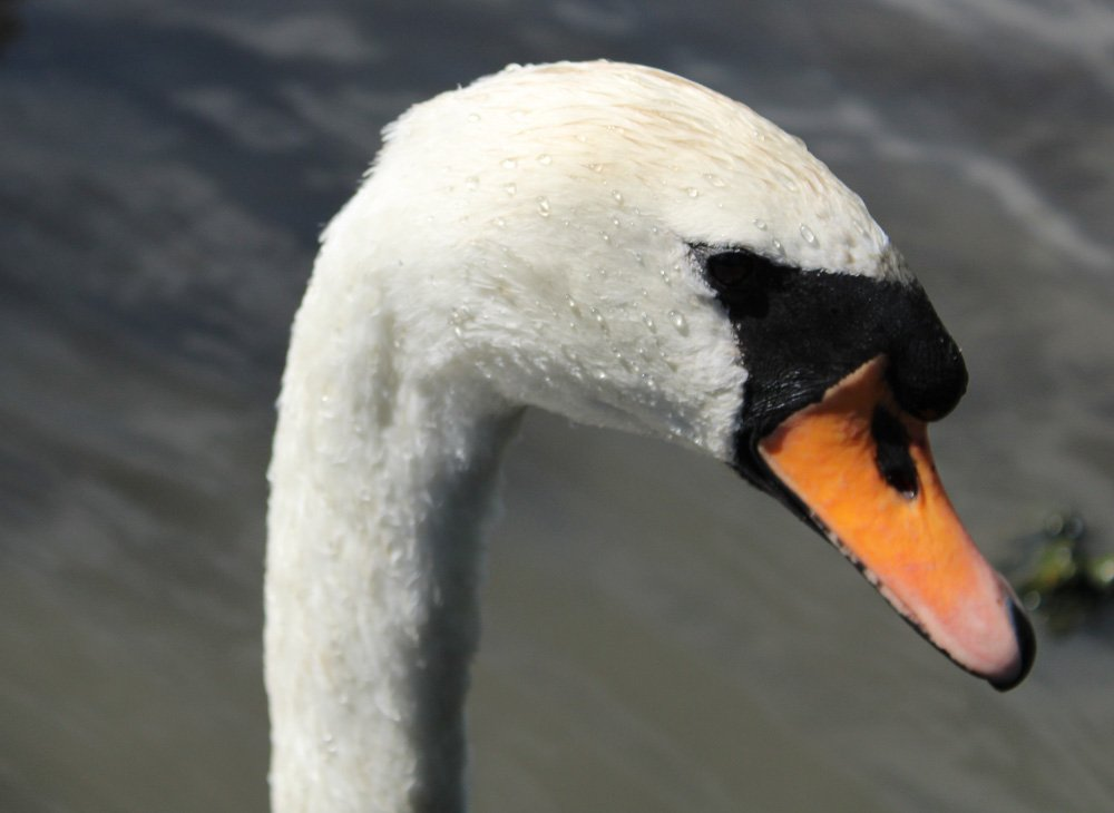 Swan Feathered Intelligence, The Way We Think And Learn About Birds