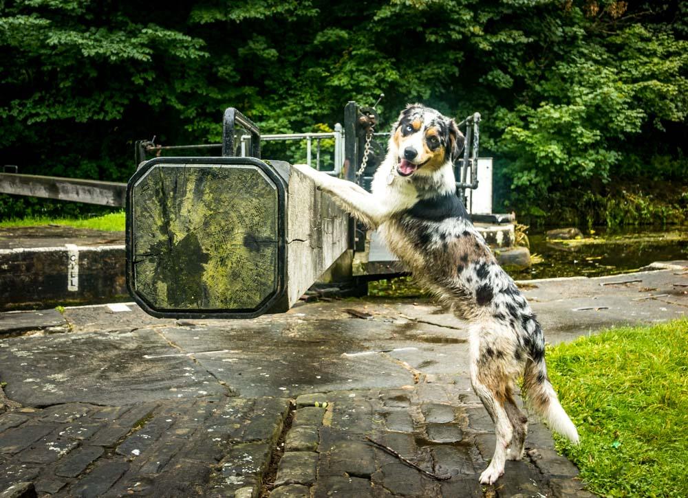Bingley 3 rise locks and dog