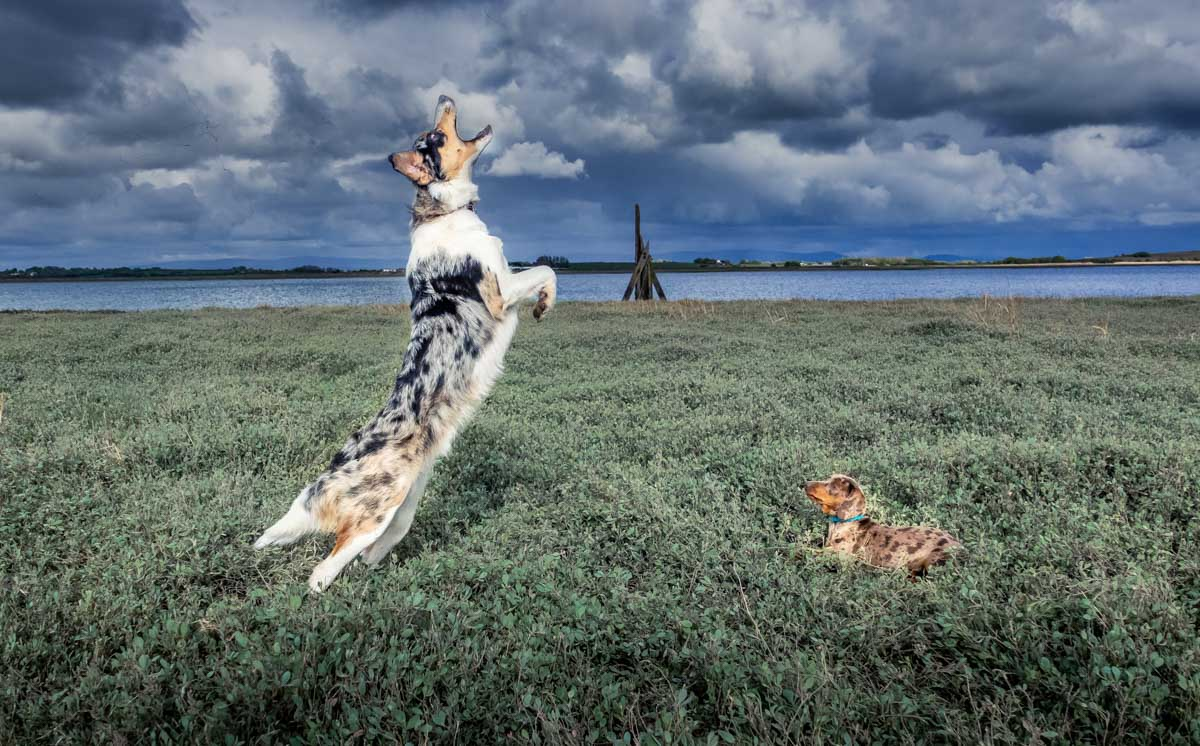 dogs playing on wyre estuary