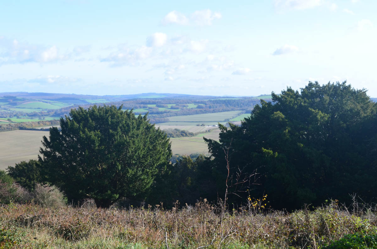 yew trees at the top of Kingley Vale