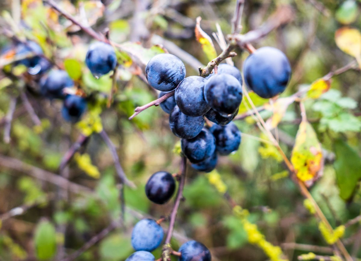 blue-berries Harome To Nunnington - A Ryedale North Yorkshire Walk