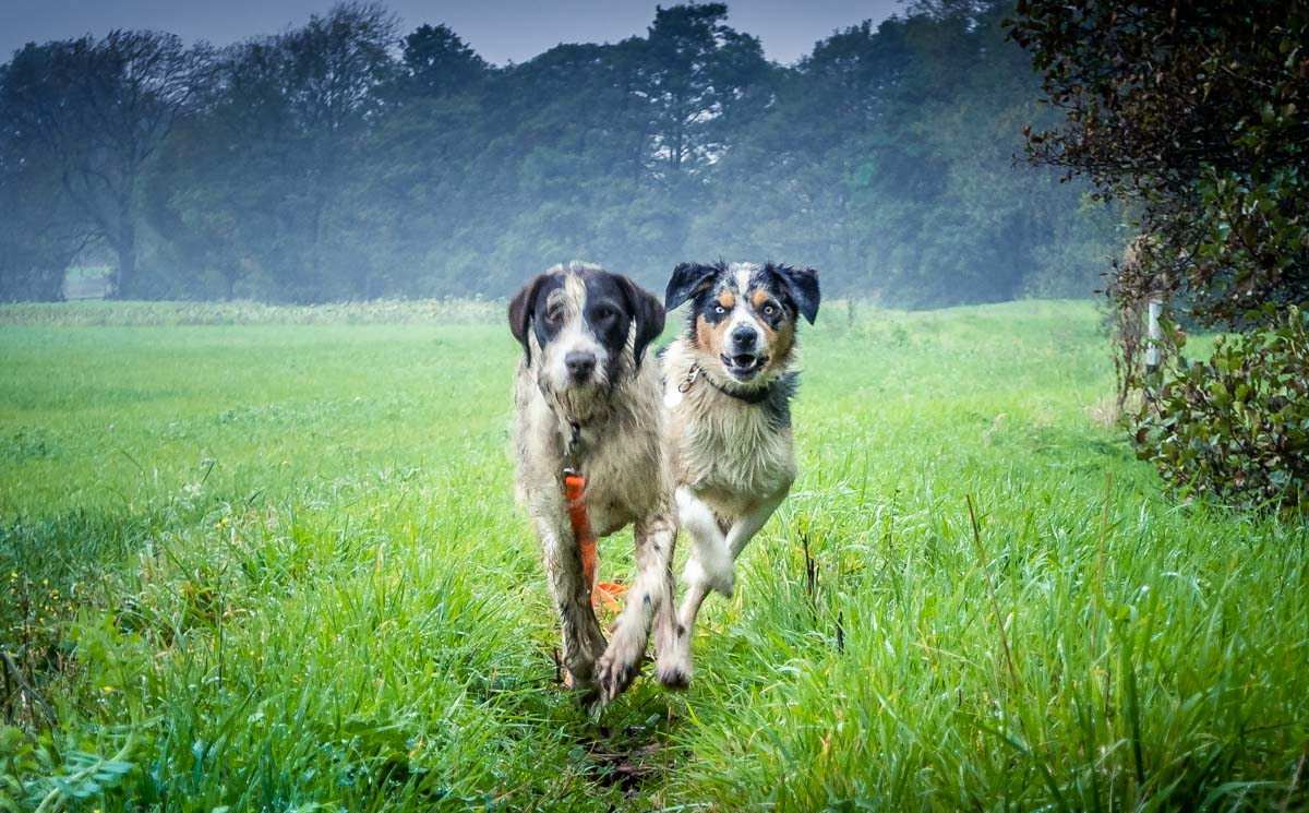 two-dogs-running Harome To Nunnington - A Ryedale North Yorkshire Walk