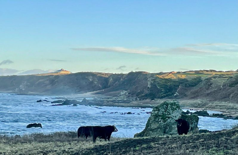 black cattle on the coast