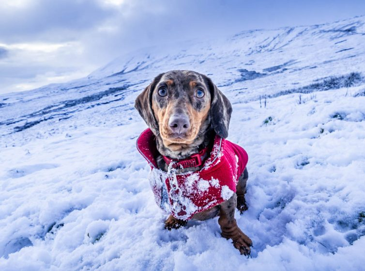 dachsund-snow-754x559 Whernside - A Winter Walk To The Top Of The Yorkshire Dales