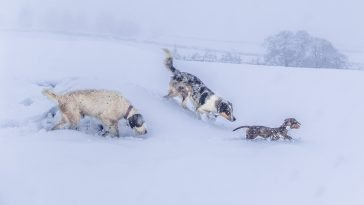 dogs having fun in the deep snow