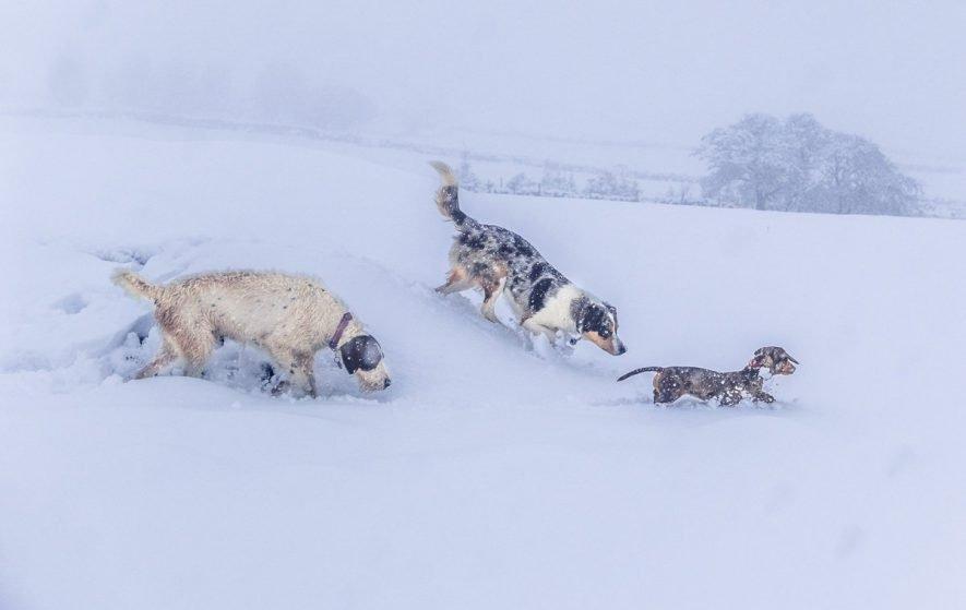 dogs having fun in the deep snow